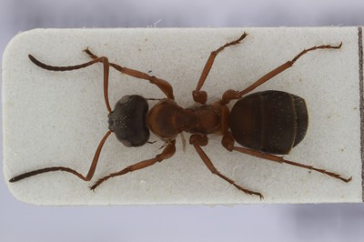 Large Ant 1 Dorsal View