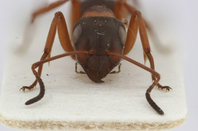 Large Ant 1 Frontal View