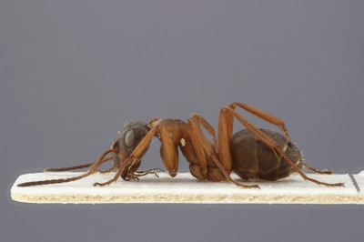 Large Ant 1 Lateral View