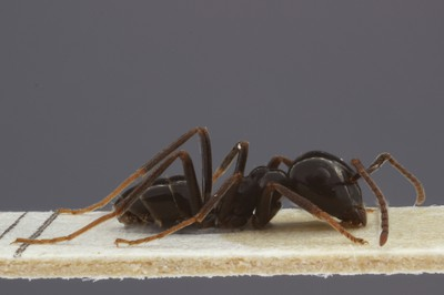 Large Ant 2 Lateral View