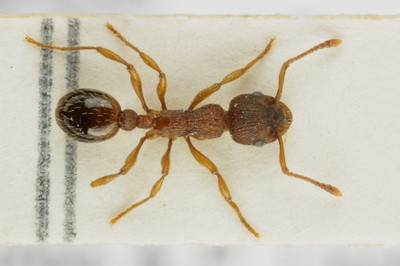 Small Ant 1 Dorsal View