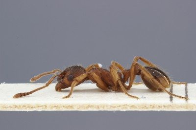 Small Ant 1 Lateral View