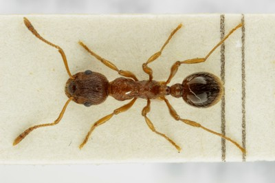 Small Ant 2 Dorsal View