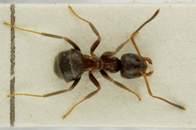 Small Ant 3 Dorsal View
