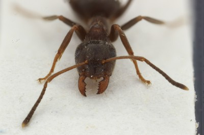 Small Ant 3 Frontal View
