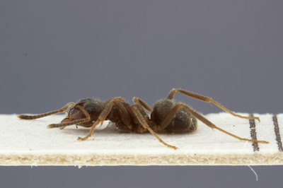 Small Ant 3 Lateral View