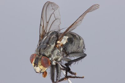 Diptera Fronto-Lateral