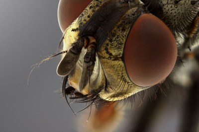 Calliphora sp. Head close-up