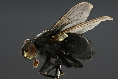 Calliphora sp. Lateral DMAP