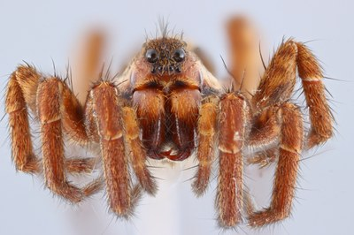 Focus stacked image of a wolf spider (frontal view)