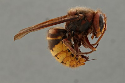Focus stacked image of a Vespa crabro specimen