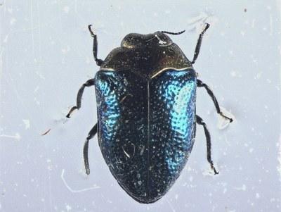 Trachys trogloditiformis - Leica MZ16A