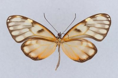 Venezuelan Butterfly