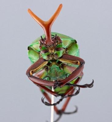 Eudicella gralli hubini - frontal