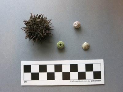 Size Comparison Sea Urchins.jpg