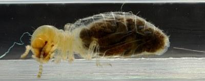 Apicotermes sp.