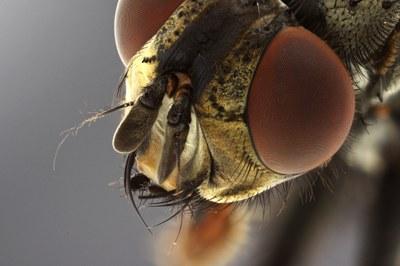 Calliphora sp. Head close-up