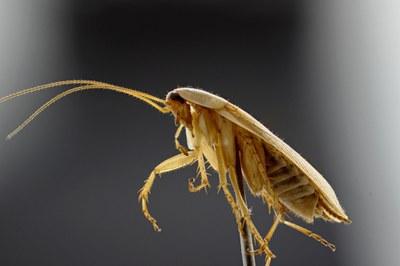 Ectobius sp. Lateral