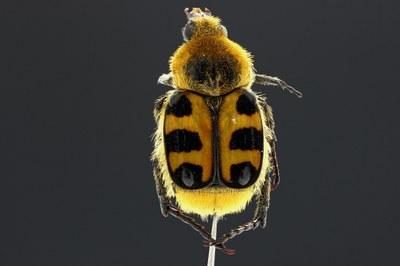 Trichius fasciatus Dorsal