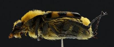 Trichius fasciatus Lateral
