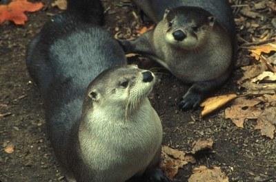 800px-Otter_mammals_lutra_lutra.jpg