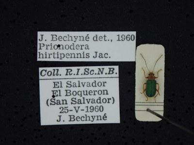 BE-RBINS-ENT Prionodera hirtipennis K30_D04_091 Label.JPG