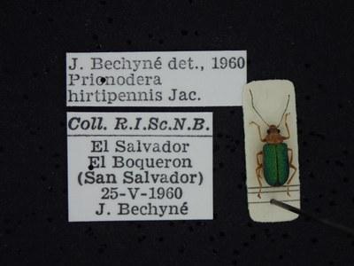 BE-RBINS-ENT Prionodera hirtipennis K30_D04_093 Label.JPG