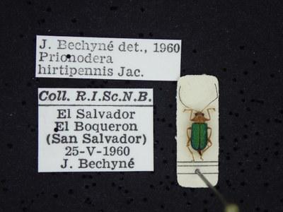 BE-RBINS-ENT Prionodera hirtipennis K30_D04_096 Label.JPG