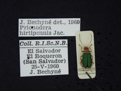BE-RBINS-ENT Prionodera hirtipennis K30_D04_097 Label.JPG