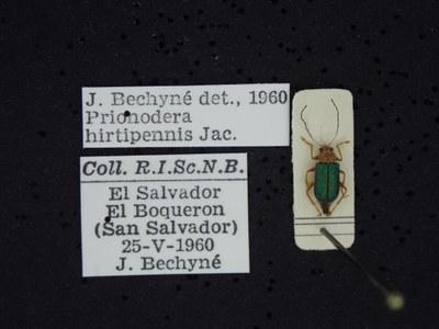 BE-RBINS-ENT Prionodera hirtipennis K30_D04_098 Label.JPG