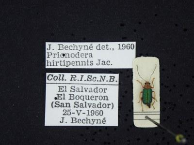 BE-RBINS-ENT Prionodera hirtipennis K30_D04_099 Label.JPG