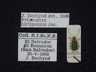 BE-RBINS-ENT Prionodera hirtipennis K30_D04_105 Label.JPG