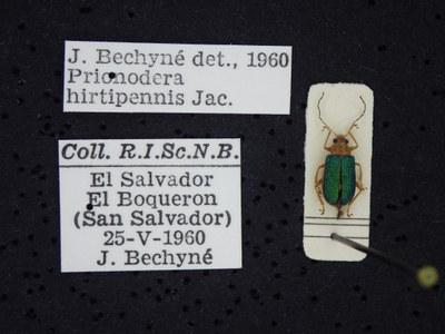 BE-RBINS-ENT Prionodera hirtipennis K30_D04_106 Label.JPG