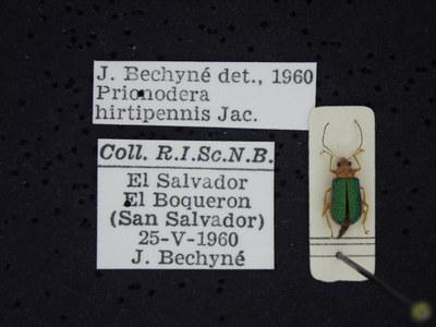 BE-RBINS-ENT Prionodera hirtipennis K30_D04_107 Label.JPG